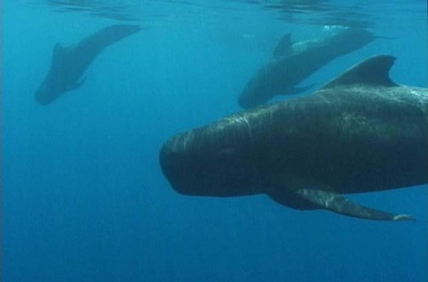708_Pilot_whale_alongside_underwater_shawn_larkin_2010_costa_rica